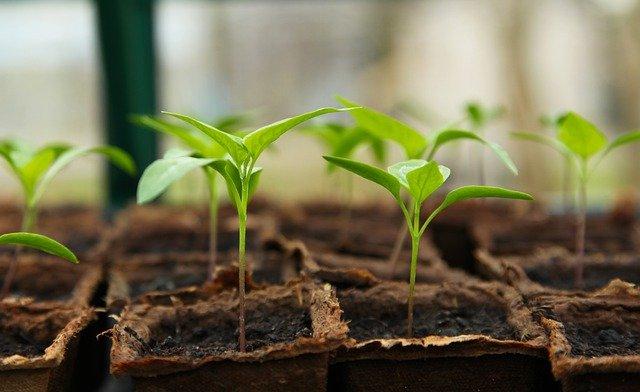 Rostlinky přesaďte, až povyrostou