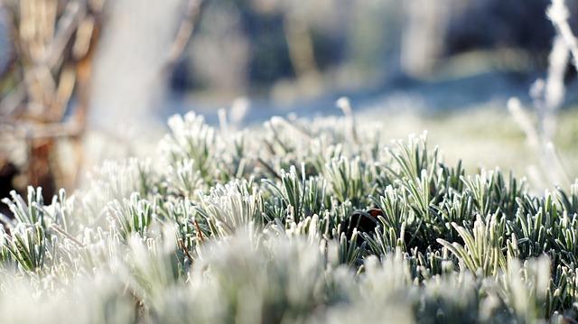 Ideální doba na zazimování levandule bývá obvykle během října